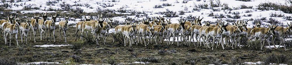 Antelope Herd by Susi Stroud