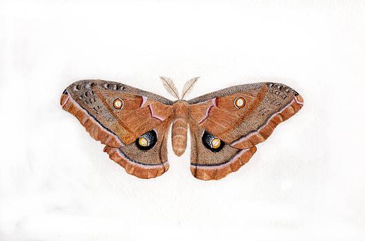 Antheraea polyphemus by Inger Hutton