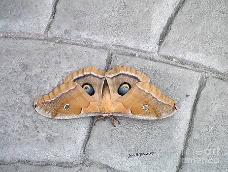 Antheraea polyphemus by   Joe Beasley