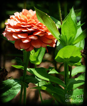 Antique Colored Zinnia Flower by Eva Thomas