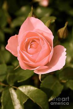 Danielle Groenen - Antique Pink Rose