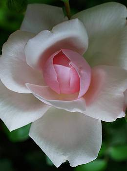 Rosemarie E Seppala - Antique Rose In Clear Pink