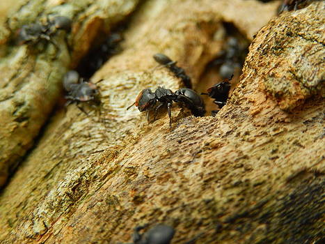 Ants on wood by Rosvin Des Bouillons