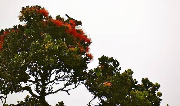 Apapane atop an Orange Ohia Lehua Tree  by Lehua Pekelo-Stearns