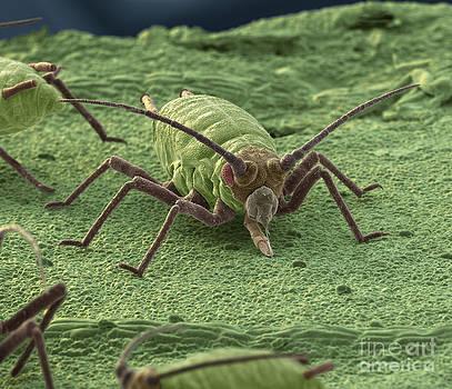 Eye of Science - Aphid On A Leaf Sem