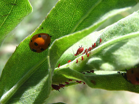 Aphids by Lisa Lieberman
