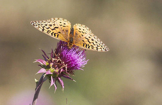 Aphrodite Butterfly on a Purple Thistle by Gerald Murray Photography