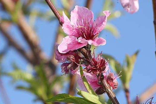 Apple Blossom Collection 3 of 4 by Charlotte Craig