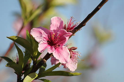 Apple Blossom Collection 4 of 4 by Charlotte Craig
