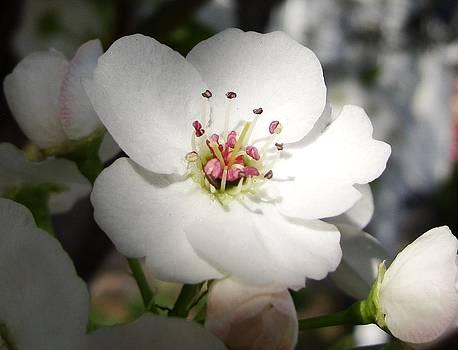 Dawn Hagar - Apple Blossom