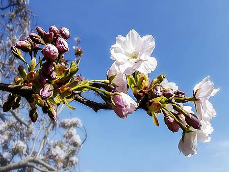 Apple Blossom on blue sky by Yvon van der Wijk
