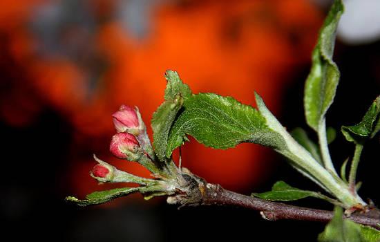 Apple Blossom Sunrise III by David Yocum