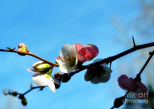 Apple Blossoms Against the Sky by Eva Thomas