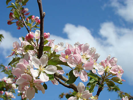Baslee Troutman - Apple Blossoms Art Prints Blue Sky Spring Flowers
