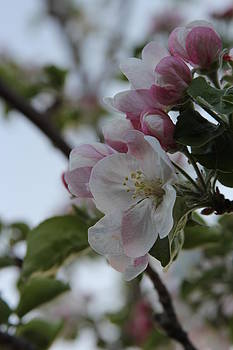 Apple Blossoms in May by Dana Moyer