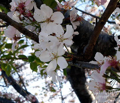 Apple Blossoms in the Spring by Eva Thomas