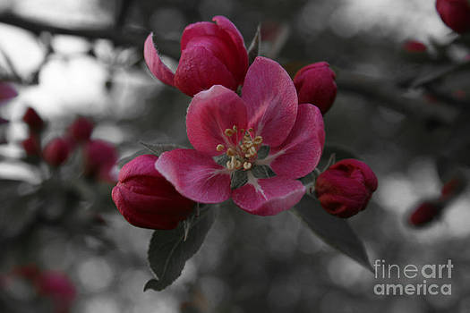 Apple Blossoms by Rebecca Fry