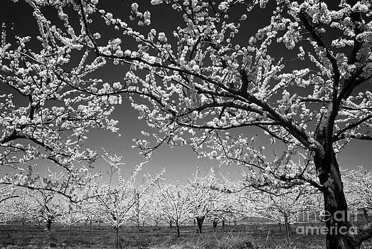 Elena Elisseeva - Apple orchard