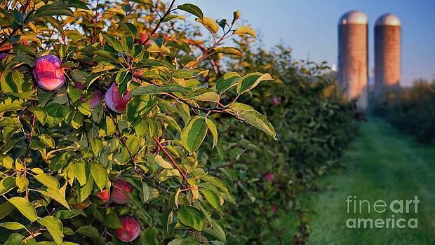 Apple Orchard Sunrise Autumn by Henry Kowalski
