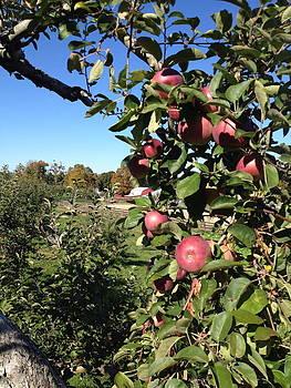Apple Picking by Lisa Lamir