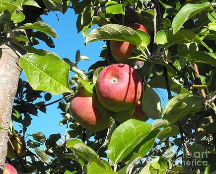 Apple Picking Time by Lisa J Gifford
