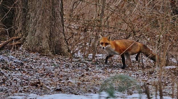 Approaching Fox by William Fox