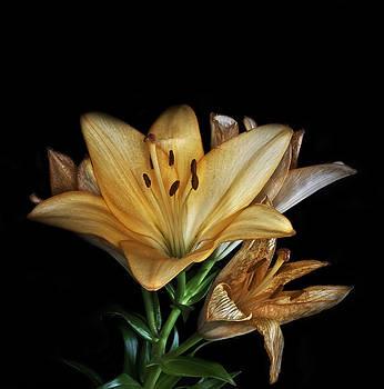 Nigel Jones - Apricot Lillies
