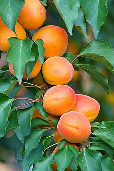 Apricots by Borislav Marinic