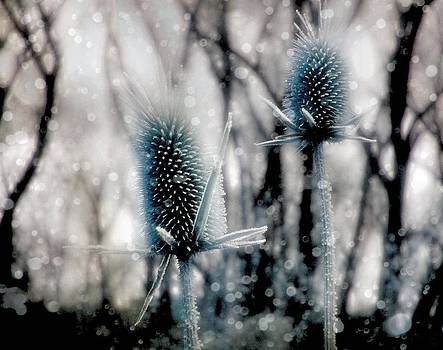 Gothicrow Images - Aqua Ice Teasels In Winter