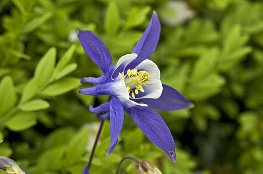 Aquilegia or Columbine flower by David Davies