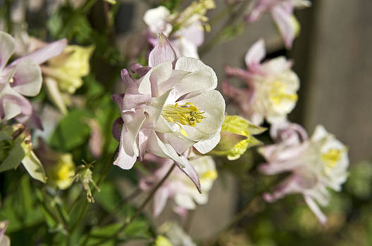 Aquilegia or Columbine flowers. by David Davies