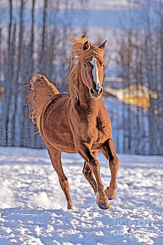 Arabian Stallion by Rolf J Kopfle