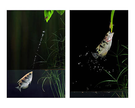 Archerfish Twin Action by Scott  Linstead
