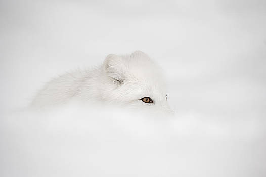 Arctic Fox by Andy Astbury