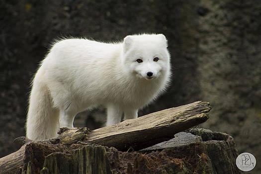 Arctic Fox by Audrey Elisabeth