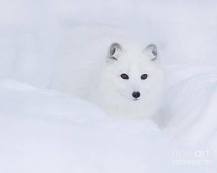 Arctic Fox In Winter by Deborah  Smith