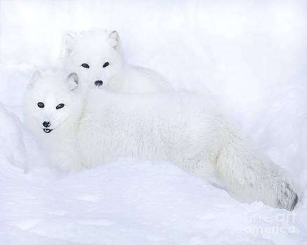Arctic Foxes In The Snow by Deborah  Smith