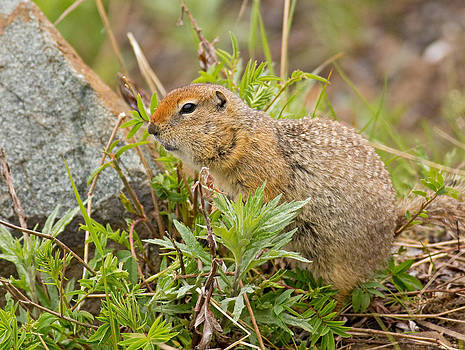 Arctic Ground Squirrel by Brian Magnier