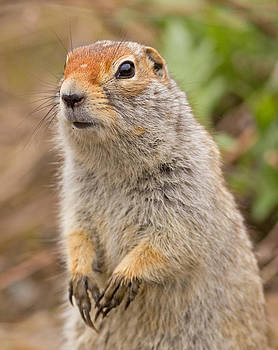 Arctic Ground Squirrel close-up by Brian Magnier