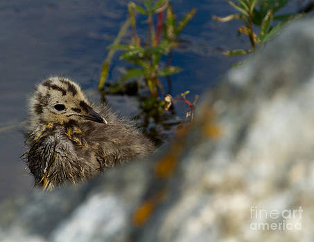 Arctic Tern Chick by Terry Cotton