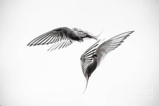 Ian Monk - Arctic Tern - sterna paradisaea - Pas de deux - Black and White