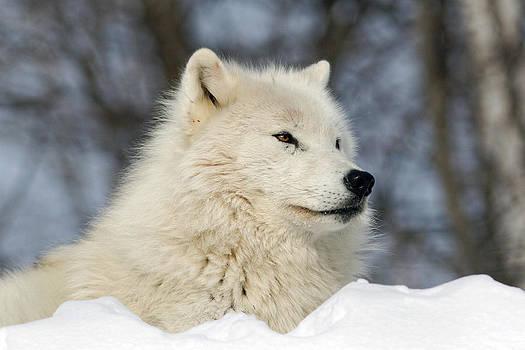 Arctic Wolf by Jonathan Edwards - Corvidae Studio Photos