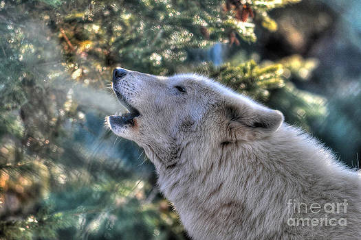 Arctic Wolf Song by Skye Ryan-Evans