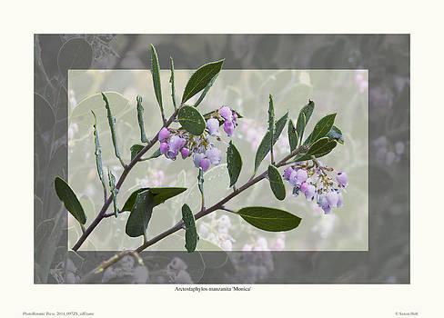 Arctostaphylos manzanita 'Monica' by Saxon Holt
