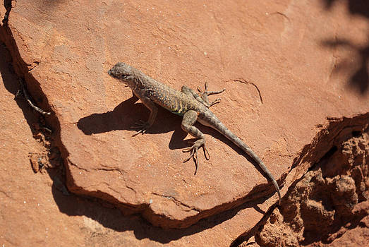 Arizona Lizard  by Curtis Jones