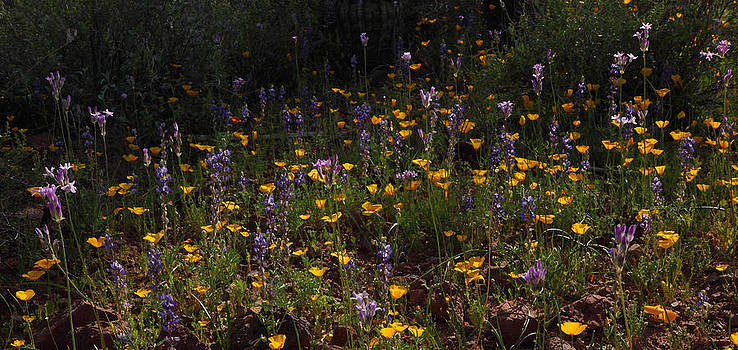 Susan Rovira - Arizona Wilderness Wildflowers