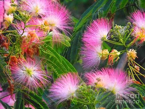 Arkansas Mimosa by Lisa Gifford