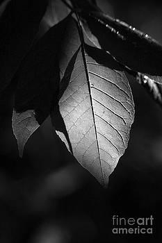 Ash Leaf by Cindi Ressler