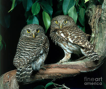 Hans Reinhard - Asian Barred Owlets