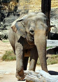Asian Elephant by Cherie Haines